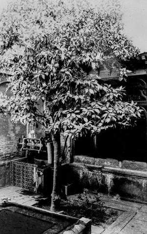 Orange tree planted by the Báb in the courtyard of His house Shíráz
